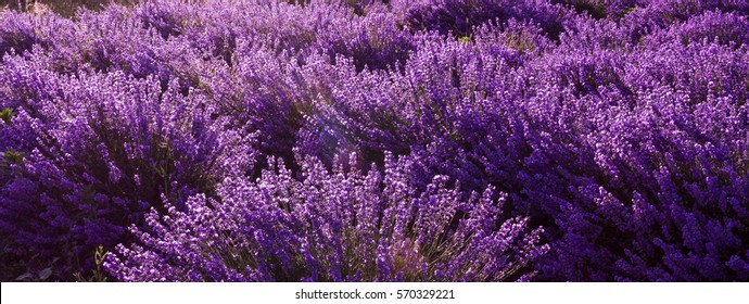 Lavender fields, panoramic background