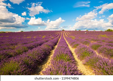 Lavender fields in Provence France with blue sky