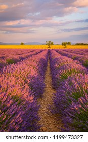 Lavender fields in Provence France at sunset
