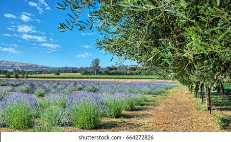 Lavender Fields of Sonoma