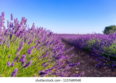 Lavender Fields Spain