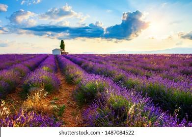 Lavender fields at sunrise near Valensole, Provence, France. Beautiful summer landscape