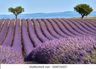Lavender fields of Valensole with olive trees in Summer. Alpes de Haute Provence, PACA Region, France