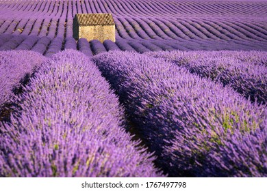 Lavender fields in Valensole (Provence) at sunset in Summer. Alpes-de-Haute-Provence, France