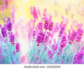 Lavender flower