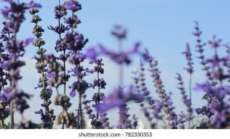 lavender flower against blue sky