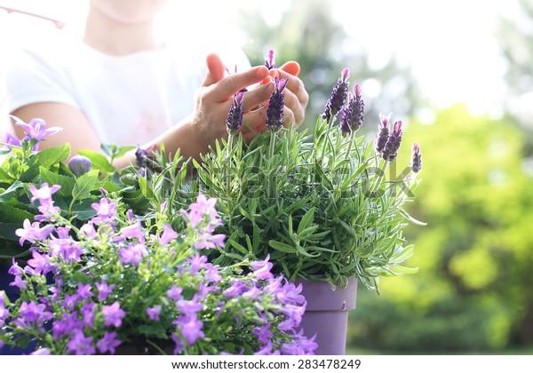 Lavender flower arrangement . Female plants in pot plants forming a beautiful composition flower