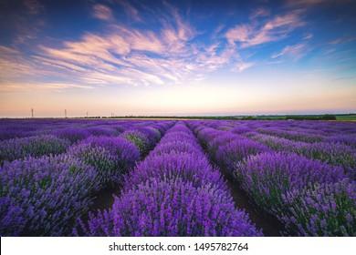 Lavender flower blooming fields in endless rows.