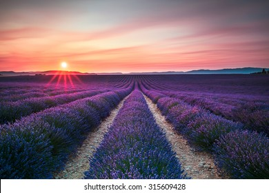 Lavender flower blooming scented fields in endless rows on sunset. Valensole plateau, Provence, France, Europe.