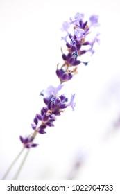 A  lavender flower close up