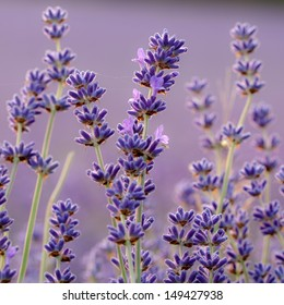 Lavender flower close up