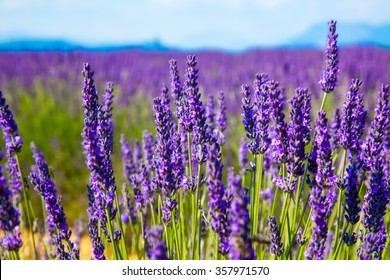 Lavender flower close up in a field in Provence France against a blue sky background.