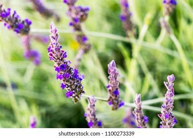 Lavender Flower Close-up Provence France