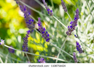 Lavender Flower Close-up Provence France