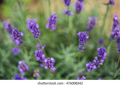 Lavender flower closeup, Purple flowers