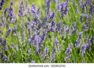 Lavender flower, Costa Blanca - Spain