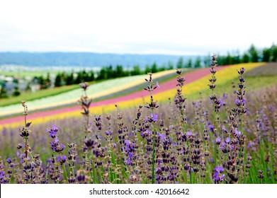 lavender in flower field