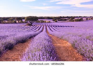 Lavender flower field. Brihuega, Guadalajara, Spain