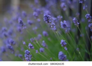 Lavender flower field in europe