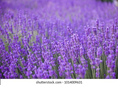 Lavender flower field, fresh purple aromatic flowers for natural background. Violet lavender field in Provence, France.