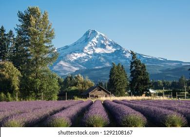 Lavender flower field near Mt. Hood in Oregon, with an abandoned barn.