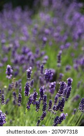 Lavender flower in summer, purple in the typical lavender and green contrast.