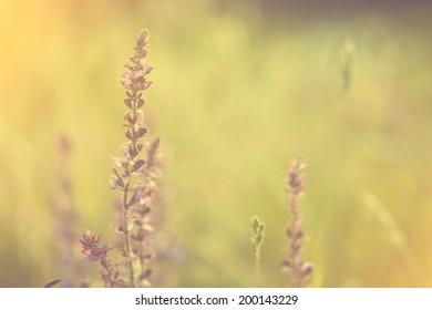 Lavender flower in sunset