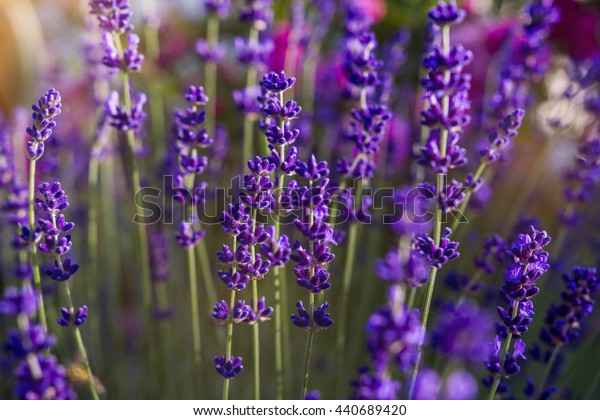 Lavender flower sunshine background