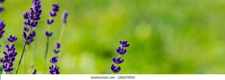 Lavender flowering bush in the countryside on a meadow. Spring season. Banner for design.