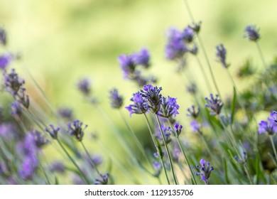 lavender flowers in bloom on the field in macro
