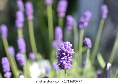 Lavender flowers blooming close up