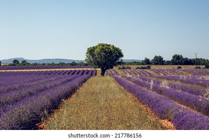Lavender flowers blooming field, panoramic view. Plateau de Valensole in Provence, France