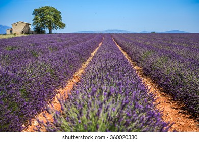 Lavender flowers blooming field. Valensole, Provence, France, Europe