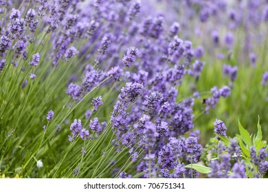 Lavender flowers blooming in the garden