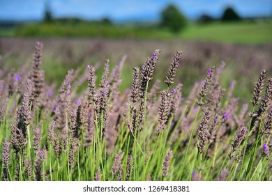 Lavender flowers blooming in late summer in Waikato, New Zealand