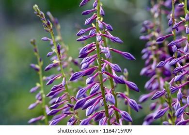 Lavender Flowers blooming in a meadow