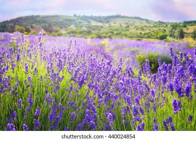 Lavender flowers blooming near Tihany in Hungary