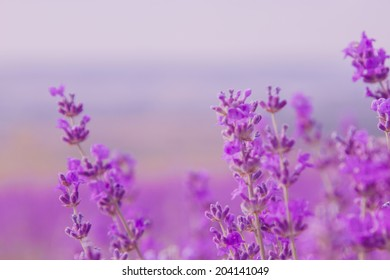 Lavender Flowers. Blooming violet flowers closeup background