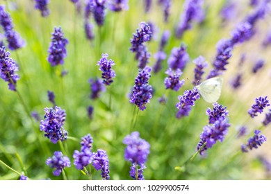 Lavender flowers close up. Summer nature background concept