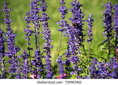 Lavender flowers close-up with a bee. Germany