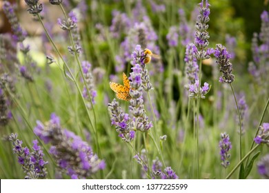 Lavender flowers in the countryside with butterfly and bee