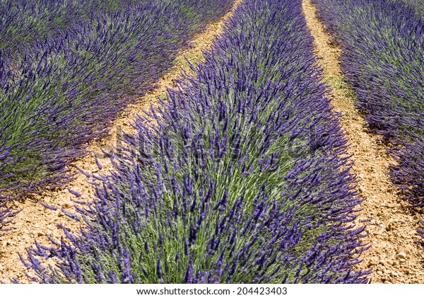 Lavender flowers in the field