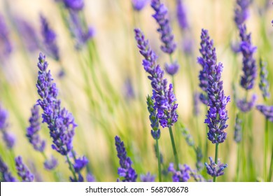 Lavender flowers in the field background.