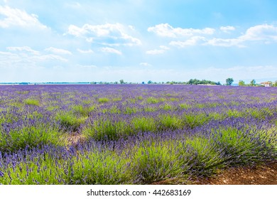Lavender flowers in a field in Provence France against a blue sky background.