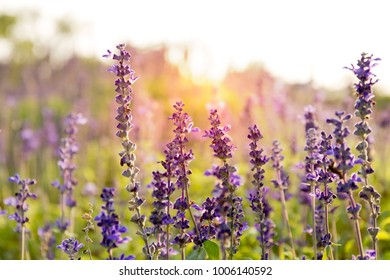 Lavender flowers in the field at sunset in summer