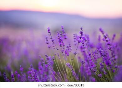 Lavender flowers field. Violet flowers. Provence lavender aroma
