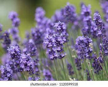 Lavender flowers in full bloom