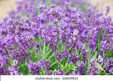 Lavender flowers growing in a field