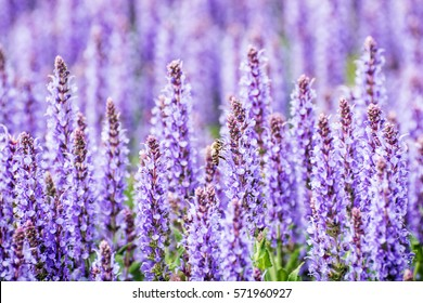 Lavender flowers and honey bee in the field. Beauty in nature.
