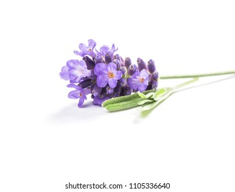 Lavender flowers isolated on white background. Macro object